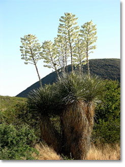 Cluster of soaptree yuccas (Yucca elata)