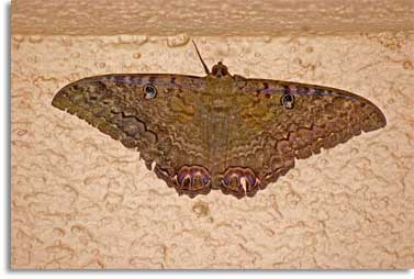 Black witch moth (Ascalapha Odorata).   Note the flattened wings (typical of many moths), which may span six to seven inches.  In the folklore of Mexico, the black witch is a harbinger of death.