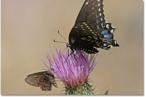 Black swallowtail butterfly (Papilio polyxenes) on bloom of a thistle.  Note the near-vertical position of the wings above the insect's body