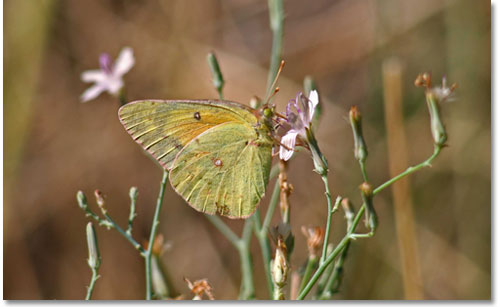 Alfalfa butterfly (Colias eurytheme).  Note the typically butterfly vertical position of the wings above the body.