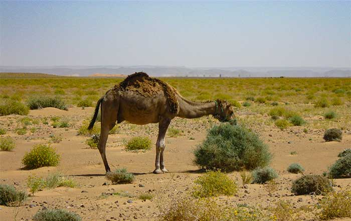 The Camel Dromedary One Hump And Bactrian Two Humps Desertusa