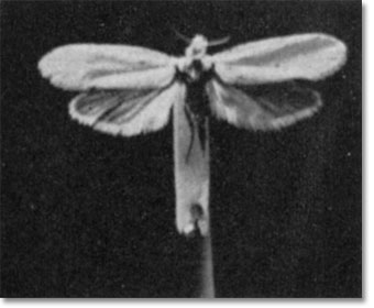 Yucca moth desertusa the yucca moth mightylinksfo