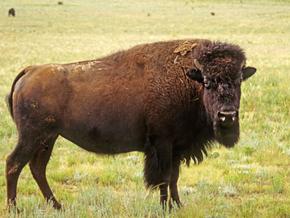 The Plains Bison - Ame...