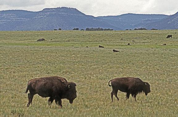 The Plains Bison American Buffalo Desertusa