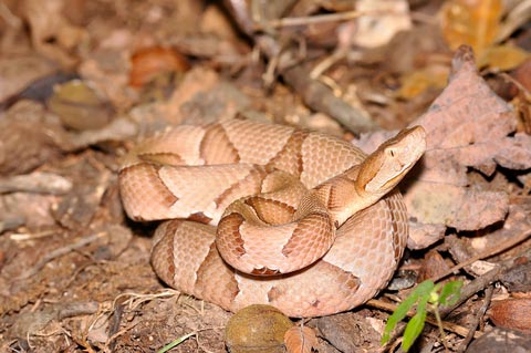 The American Copperhead Snake (Agkistrodon contortrix ... on texas copperhead snake map, rattlesnake range map, cherskogo range map, copperhead snakes in west tennessee, snakes in ohio map, copperhead and cottonmouth snakes, cottonmouth snake territory map, poisonous snakes in illinois map, copperhead snakes southern illinois, pied-billed grebe range map, copperhead yardage book, coywolf range map, pa rattlesnake map, cottonmouth water moccasin range map, northern copperhead snake map, snakes habitat map, southern leopard frog range map, copperhead snakes in alabama, blue-ringed octopus range map, copperhead snakes in south carolina,