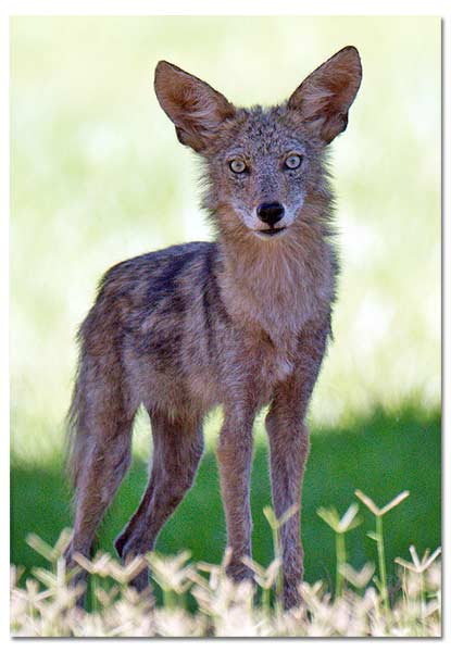 Coyote  National Geographic