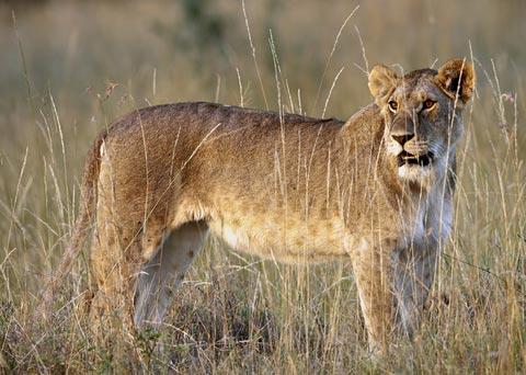 The Lion, Panthera leo - DesertUSA