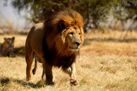 The Lion, Panthera leo - DesertUSA