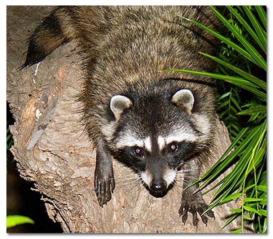 The Raccoon - DesertUSA