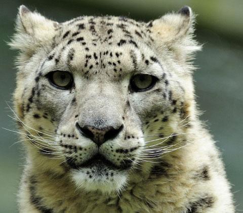 Snow Leopard Panthera Uncia Desertusa