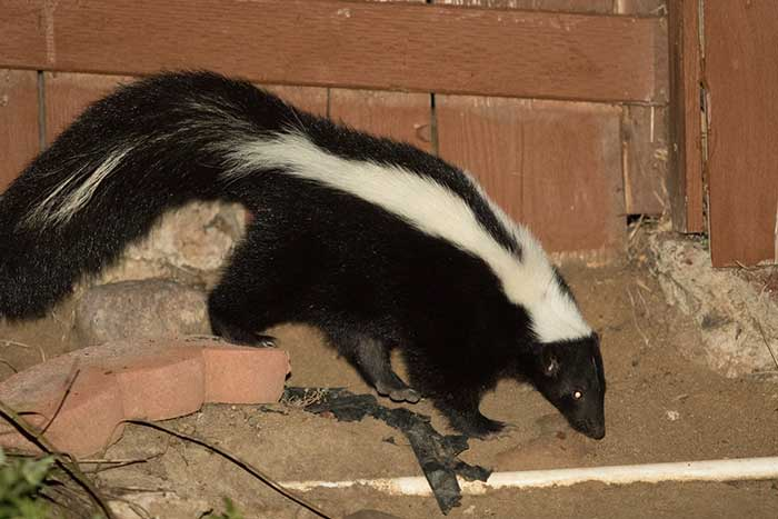 Striped Skunks Desertusa