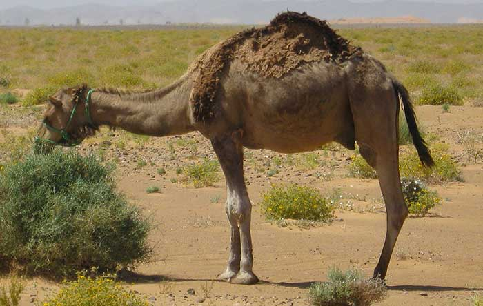 types of camels