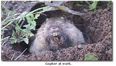 pocket gopher - DesertUSA