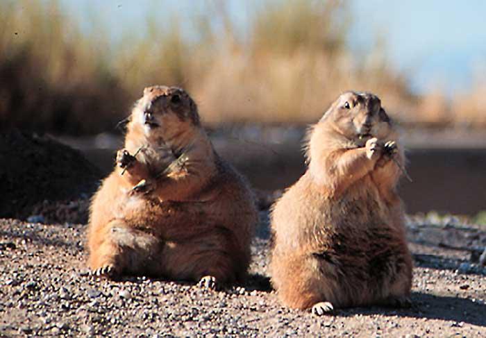 Prairie Dogs Desertusa