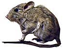 Desert Woodrats - Pack Rats - DesertUSA