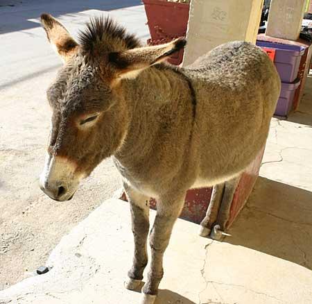 Wild Burro - donkey