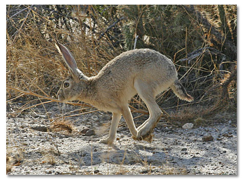 Jack Rabbits - DesertUSA