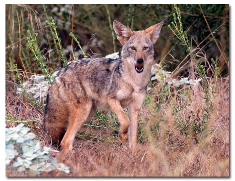 Coyote How to live with Coyotes DesertUSA