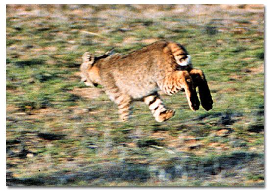 will a bobcat attack a dog