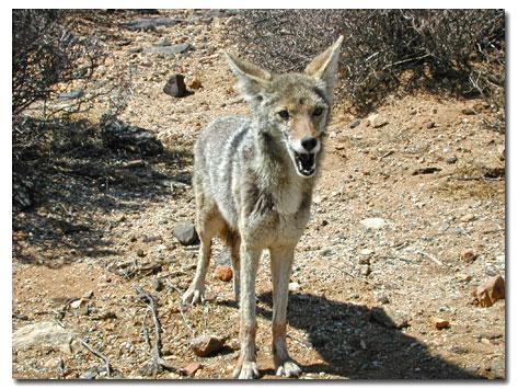 Desert coyote pictures - photo#25