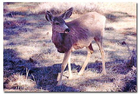 Mule Deer - DesertUSA