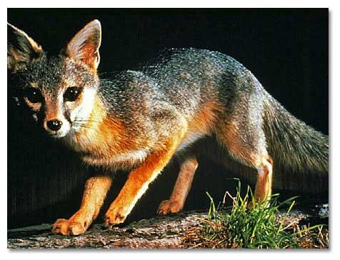 Gray Fox - DesertUSA