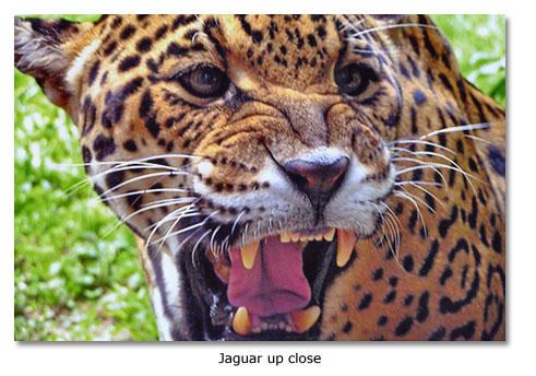 About Jaguars