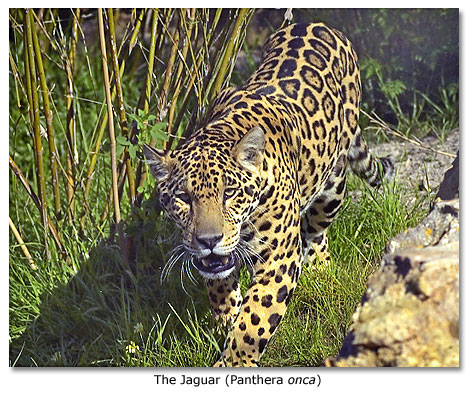 The Jaguar (Panthera Onca)