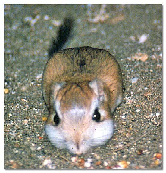 Kangaroo Rats - DesertUSA