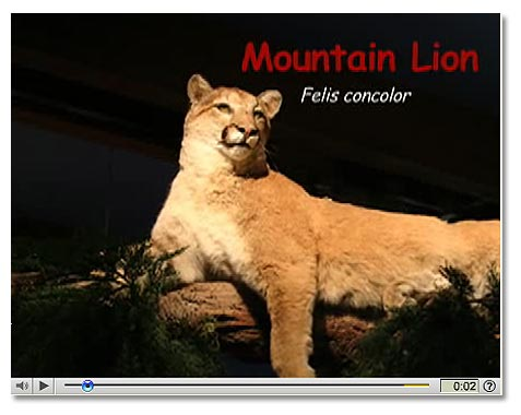 black mountain cougars personals The mountain lion (puma concolor) is sometimes called cougar, puma,  catamount  of large carnivores such as mountain lions, gray wolves and black  bears.