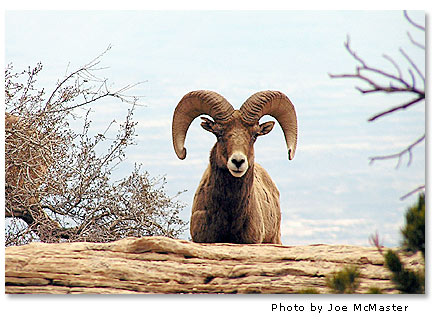 Bighorn Sheep Bighorn Desertusa