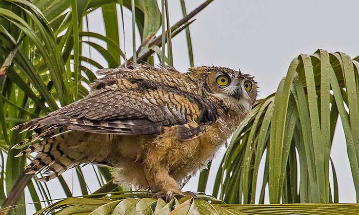 Great Horned Owl Desertusa