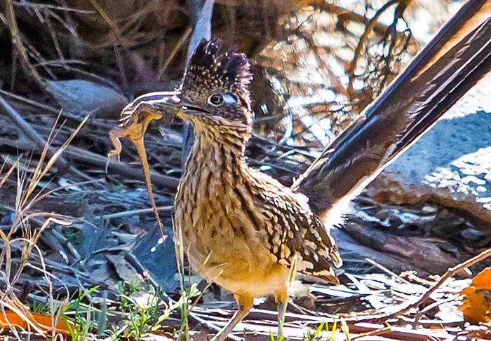 Roadrunner - Bird - Geococcyx californianus - DesertUSA