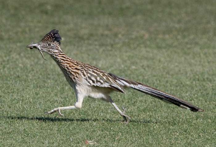 Roadrunner - Bird - Geococcyx californianus - DesertUSA