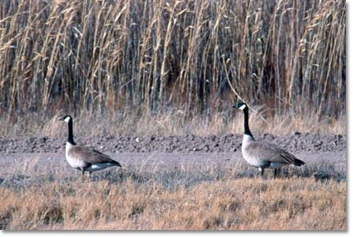 Two Canadian Geese foraging near desert wetlands.