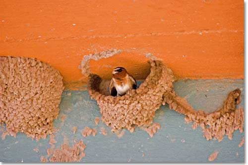 Cliff Swallow - one of hundreds - at nesting site beneath bridge over the Rio Grande.