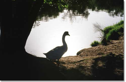 Goose near a small lake in western Texas.