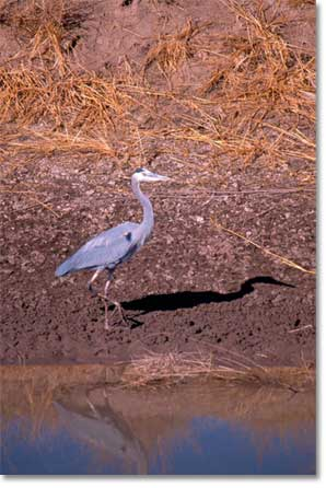 Great Blue Heron near still waters in the Rio Grande.