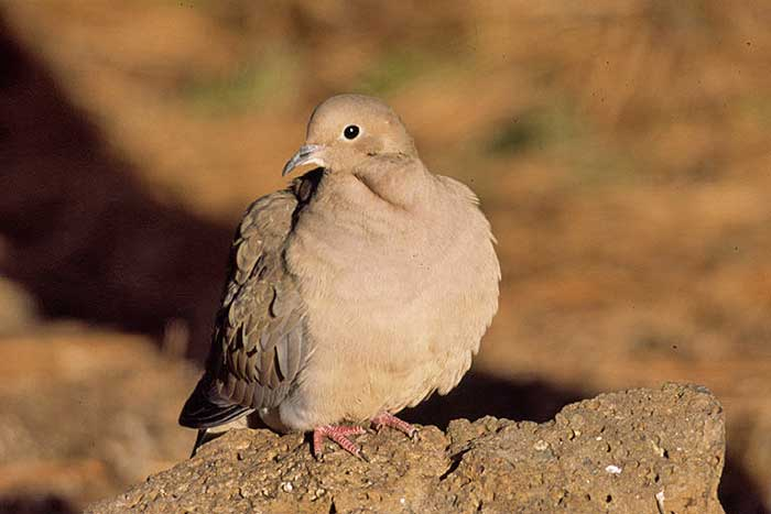 The Mourning Dove, A Classic Canyon Bird - DesertUSA
