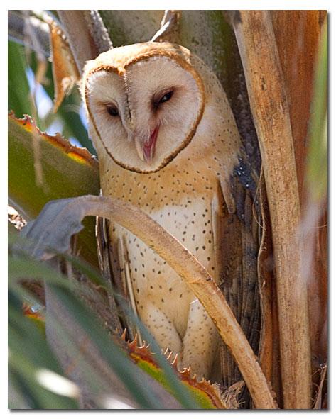 Common Barn Owl Barn Owl Desertusa