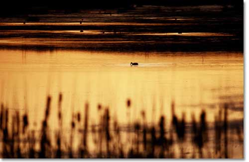 Duck silhouetted on water of desert wetlands, late afternoon.