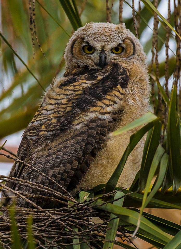 Great Horned Owl  DesertUSA