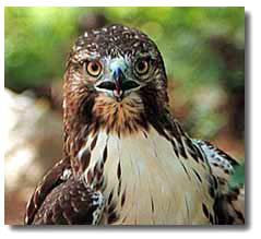 red tailed hawk desertusa