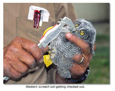 Screech Owl Western and Desert - DesertUSA