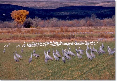 Sandhill Cranes and Snow Geese foraging in field near desert wetlands.