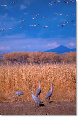 Sandhill Cranes foraging near desert wetlands, others, overhead, about to land.