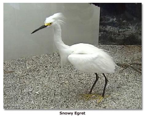 Snowy Egret Great White Egret