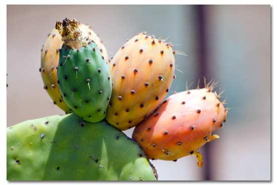 cactus fruit in spanish fruit of life