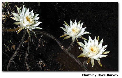 Nightblooming cactus for A flower that only blooms at night