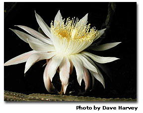 Night Blooming Cereus cactus - Queen of the Night - DesertUSA